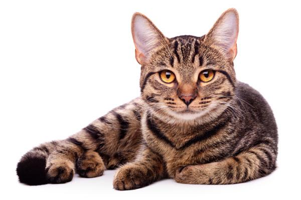 Katt som spelar Jenga