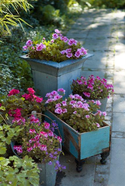 Det finns nästan inget tacksammare och mer blomvilligt än pelargoner.