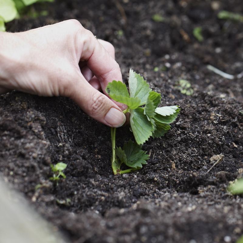 Stick ner rötterna i marken.