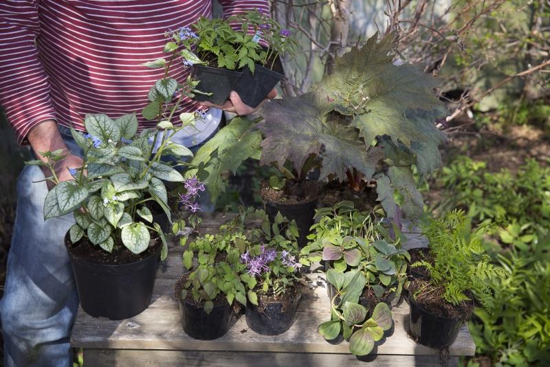 Marktäckande växter för skuggiga lägen