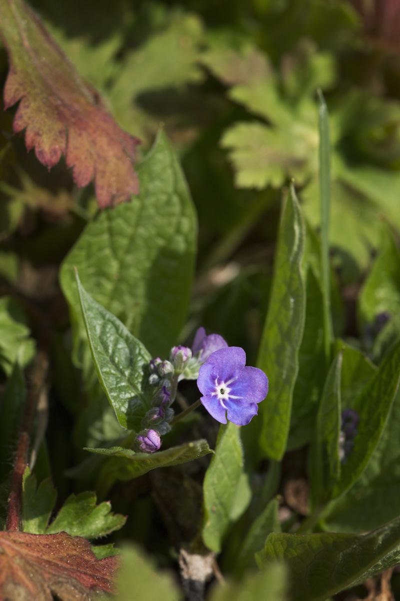 Ormöga blomma och blomknoppar