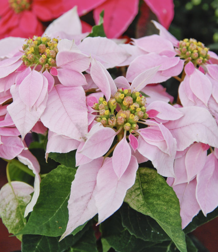 Julstjärna rosa 'Princettia'