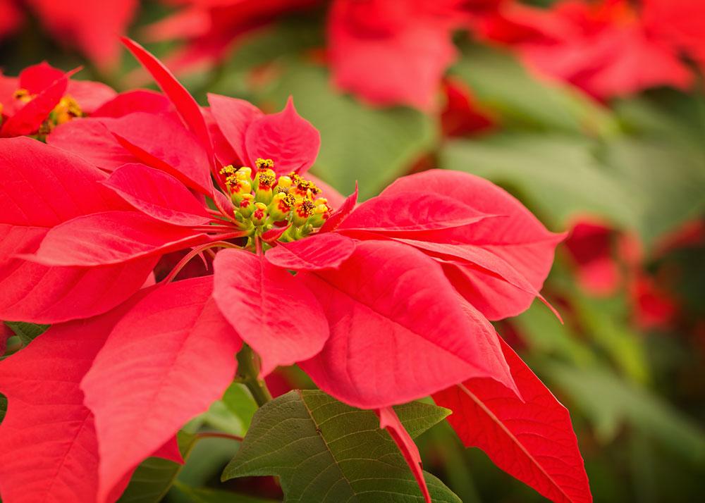5 stjärnklara tips för julstjärnor!