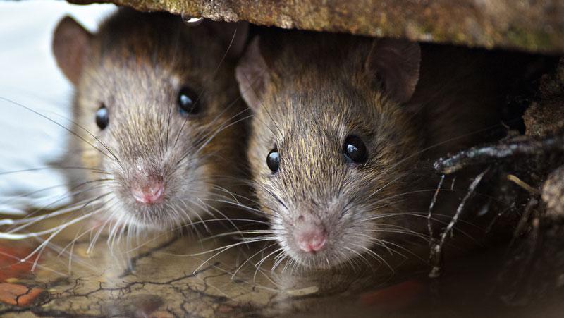 råttor under trädäck