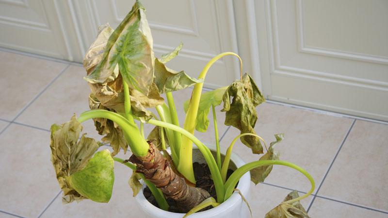 krukväxter inomhus