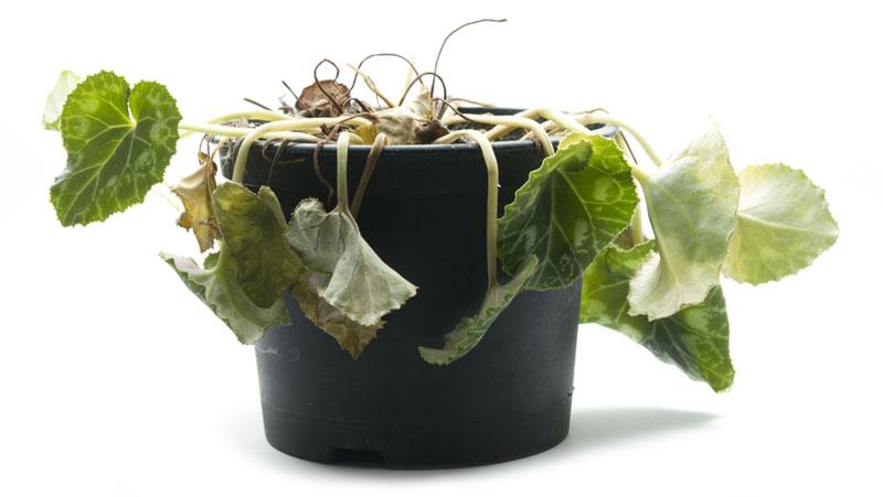 krukväxter vissnar
