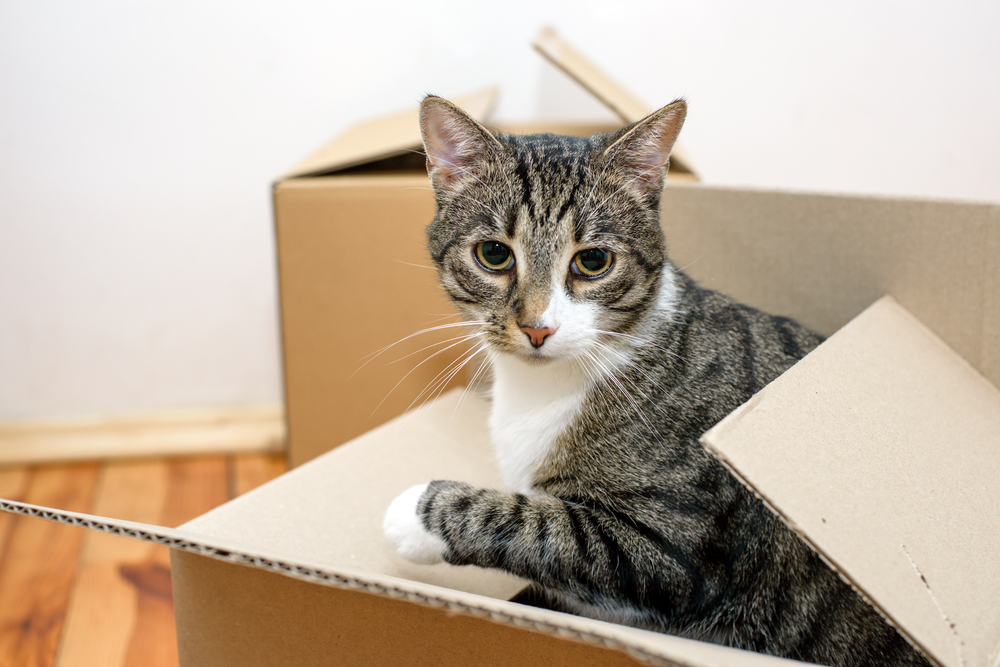 varför gillar katter lådor?