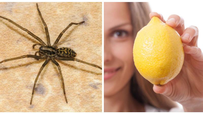 Dar sma citroner blomma
