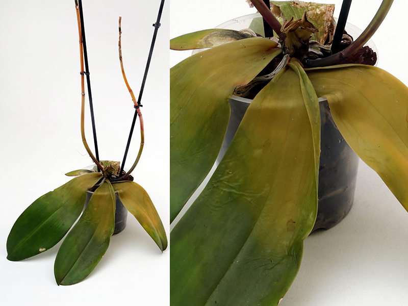 7 vanliga frågor – så får du orkidén i topptrim   Allers