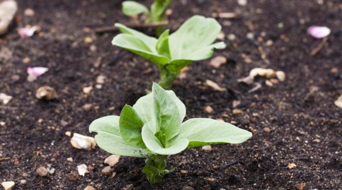 Bondbönas späda skott går perfekt att odla hemma under vintern.