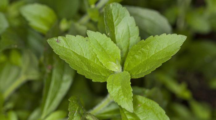 Sötflockel, eller Stevia, går fint att odla inomhus under vintern.