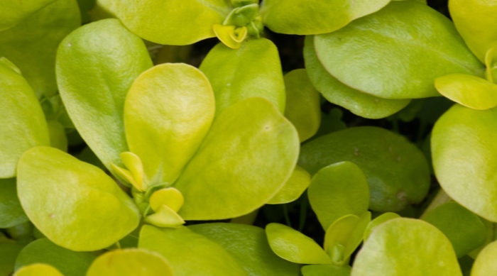 Trädgårdsportlak odlar du med fördel inomhus hemma under vintern.