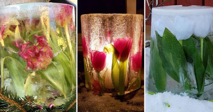 Tulpaner som inte slutar blomma tack vare isen.