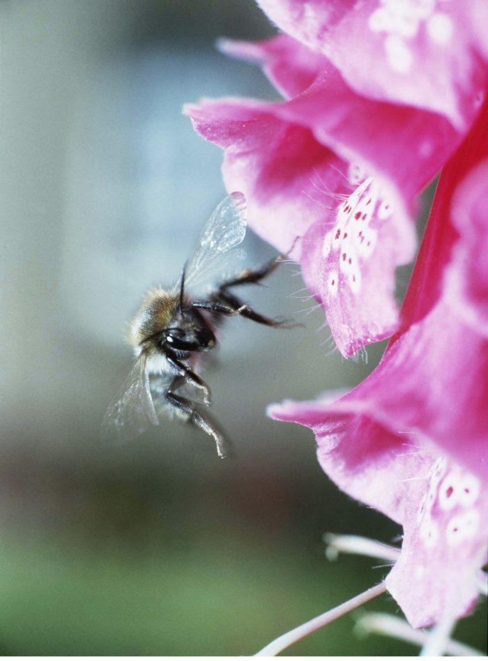 Humlor är effektiva pollinatörer eftersom de kan arbeta i sämre väder än vanliga bin. Bild: IBL Bildbyrå
