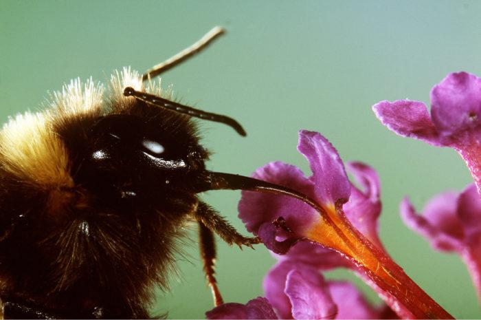 I Sverige behövs en dubbelt så stor mängd bin för att uppnå den pollinering som krävs under en säsong. Bild: IBL Bildbyrå