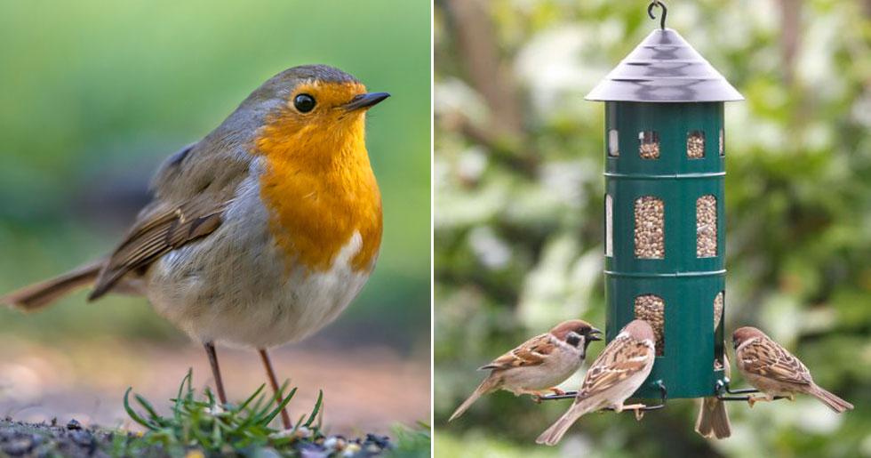 Därför ska du mata småfåglarna i trädgården även på sommaren.