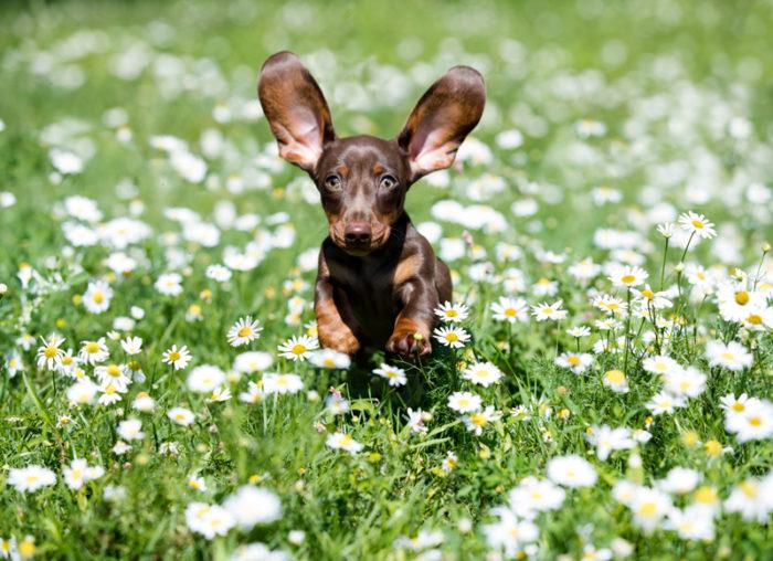 En hundvalp springer på en äng med blommor.
