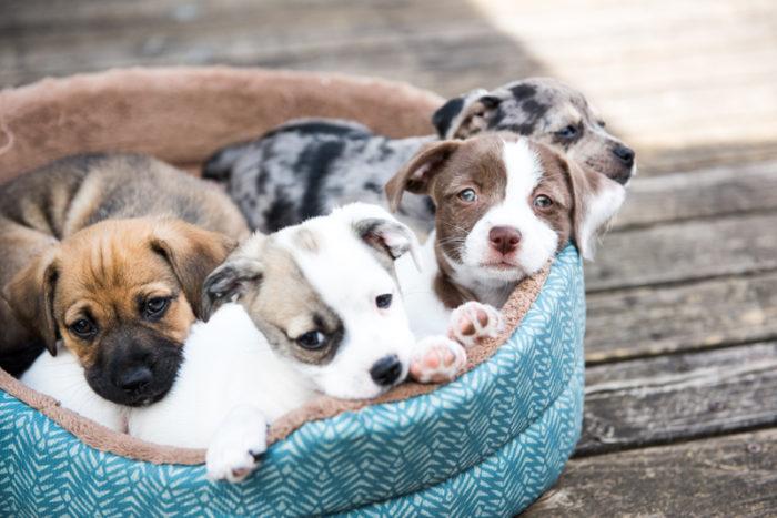Fyra hundvalpar ligger i en korg.