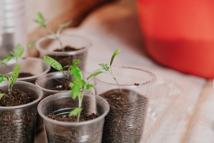Små växter i plastmuggar.