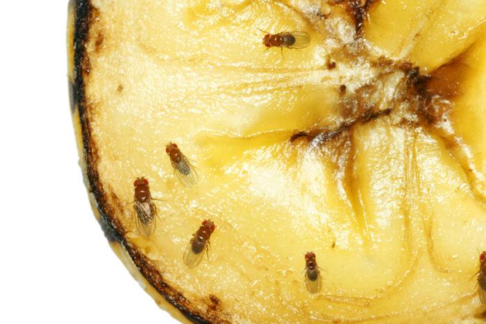 Närbild på bananflugor på banan.