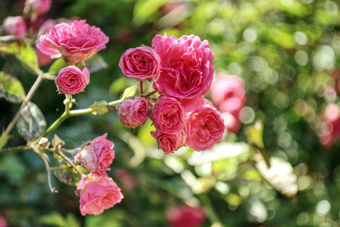 Rosa rosor.