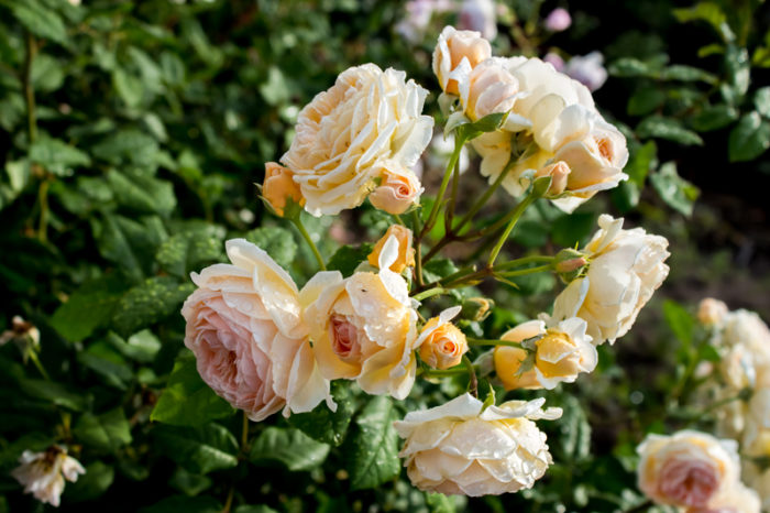 Rosen Crown Princess Margareta.