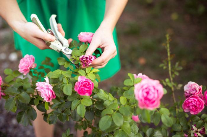 Kvinna knipsar vissen ros från rosbuske.