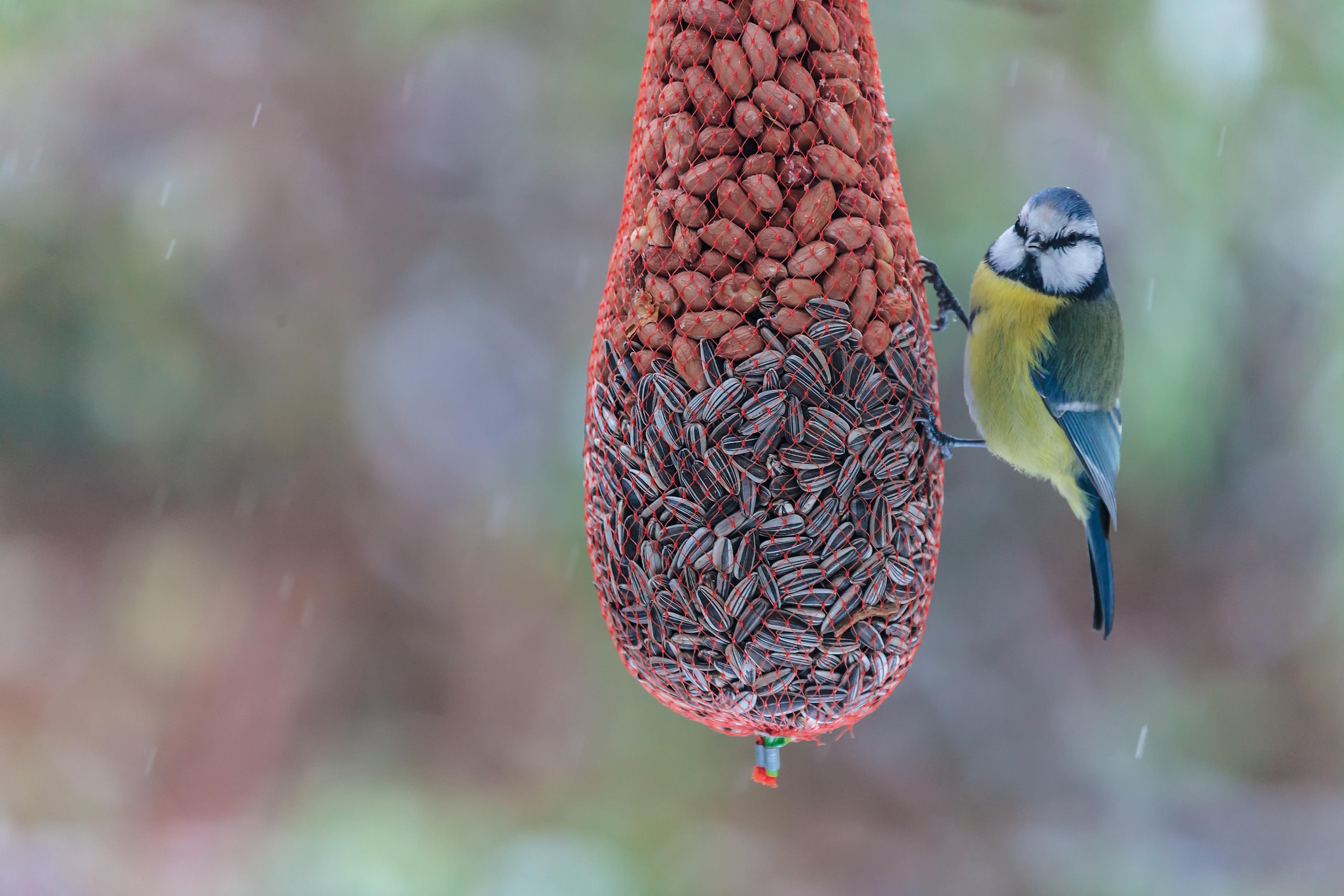 mata fåglar med havregryn