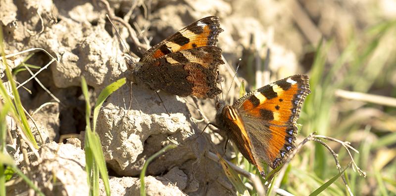 Nässelfjärilar