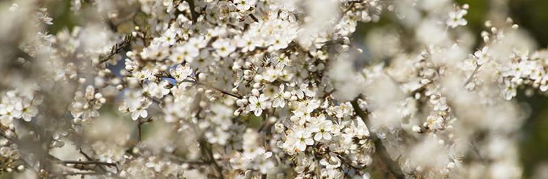 Blommande hagtorn