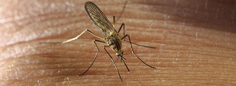Blodsugande mygga