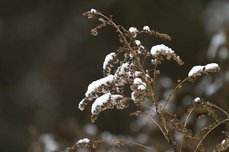 Gräs med snö
