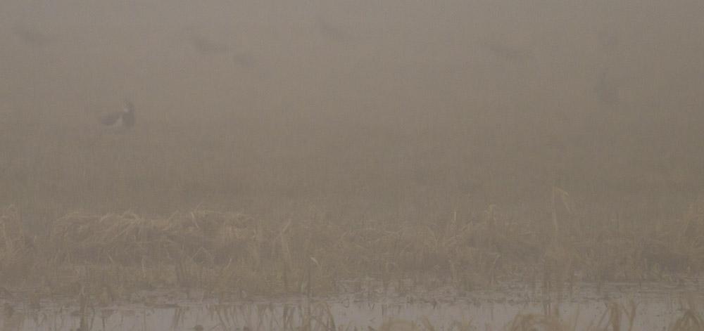 tofsvipor i dimma