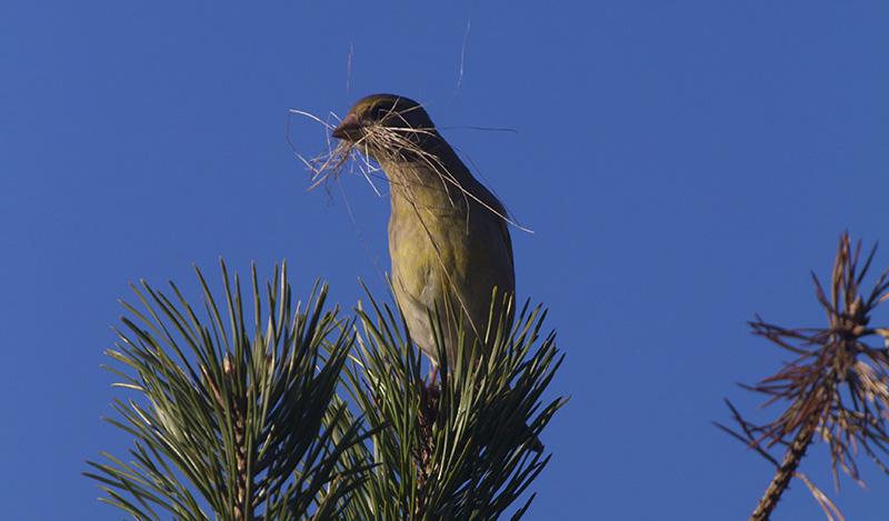 Grönfink fågelbo