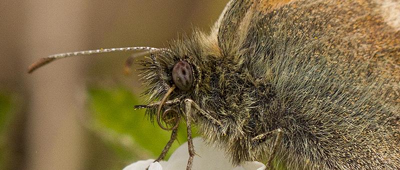 Fjäril tunga sommar