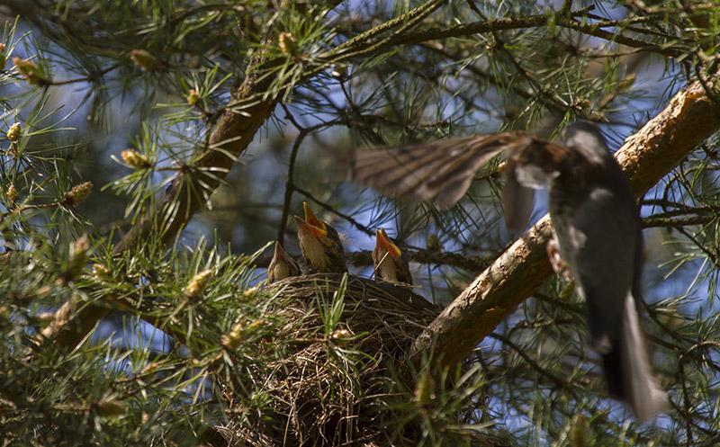 Hungriga fågelungar