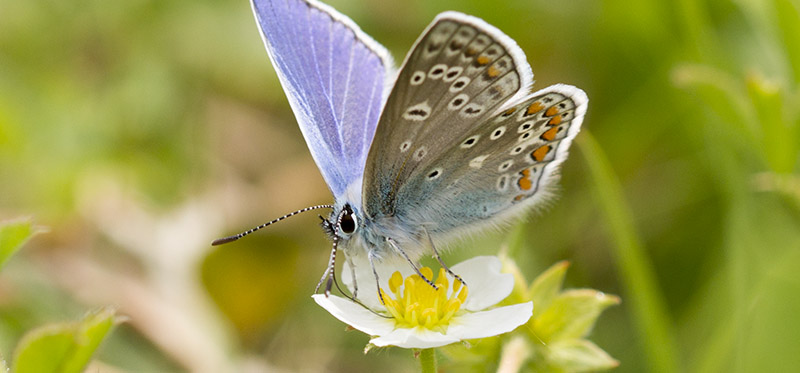 Fjäril Puktörnblåvinge