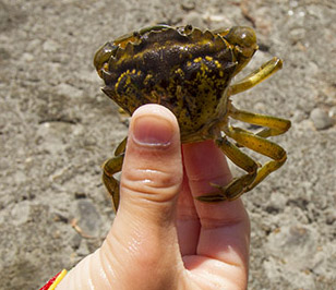 Så håller du en krabba