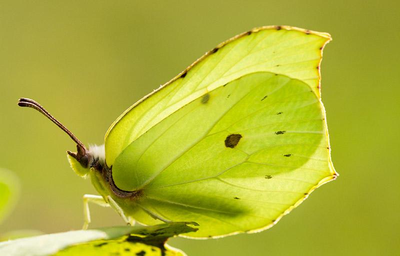 Fototips fjäril i motljus