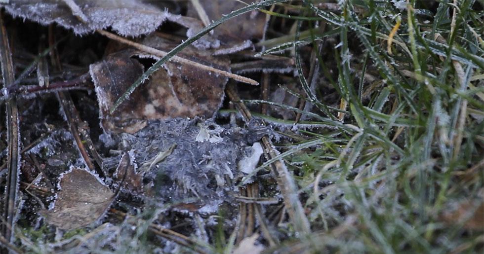 Spybollar från hornuggla.